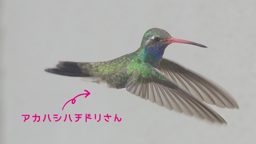 アカハシハチドリ