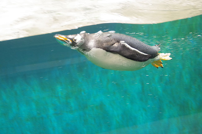躍動感あふれるペンギン