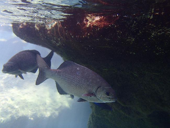 こんなに大きい魚も!