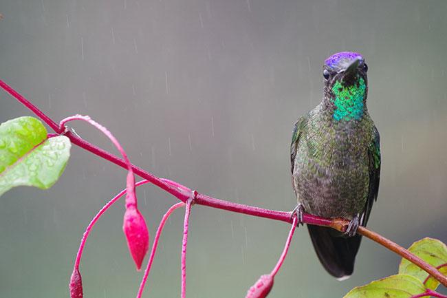 アオノドハチドリ